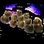 Вонголе, морской петушок, живой