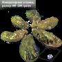 Устрицы Императорские 100-150 грамм