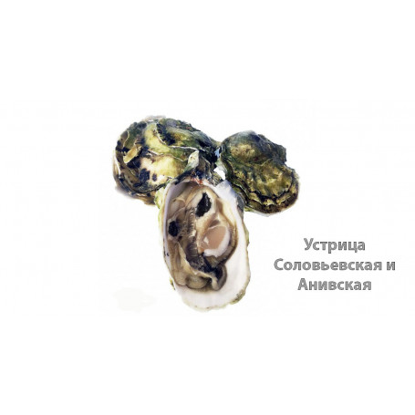 Устрицы Соловьевская и Анивская от moreokean.com